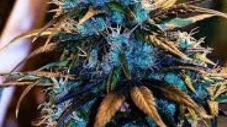 #weed #stoned #kush #memes #weedmeme #highsociety #highaf #marijuana #thc #cannabiscomunity #ganja #beautiful #weedstrains