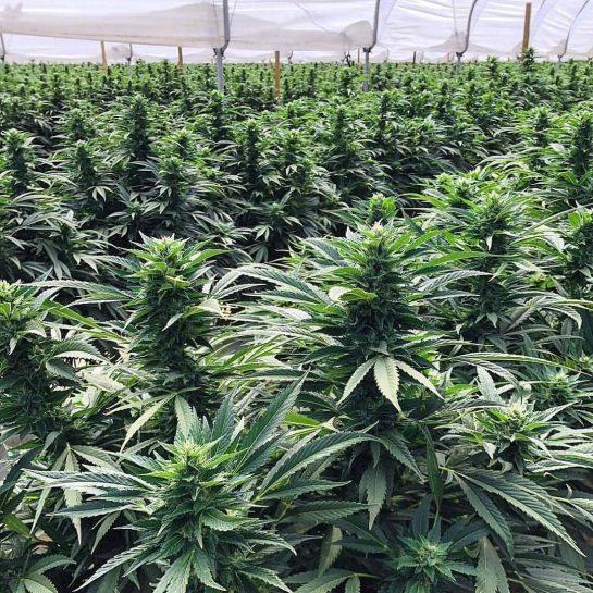 #marijuanaculture #marijuana #marijuanamodels #marijuanalife #marijuanas #marijuanaseeds #marijuanamania #marijuanaman #marijuanaedibles #marijuanagrowers #marijuanababes #marijuanacommunity #marijuanagrow #marijuanalove…