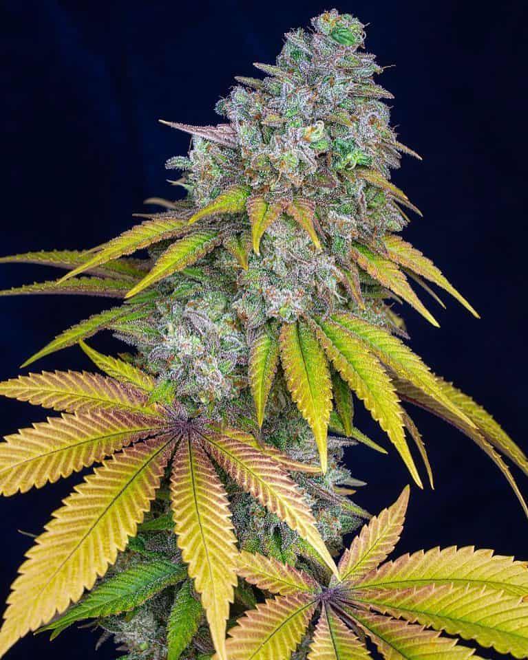 Lemon Hashplant V2 🤤🤤 Credit: u/ilikefisheaytoomuch ————————————————————— ‼️Follow @420_Budy‼️ ‼️Follow @420_Budy‼️ . . .…