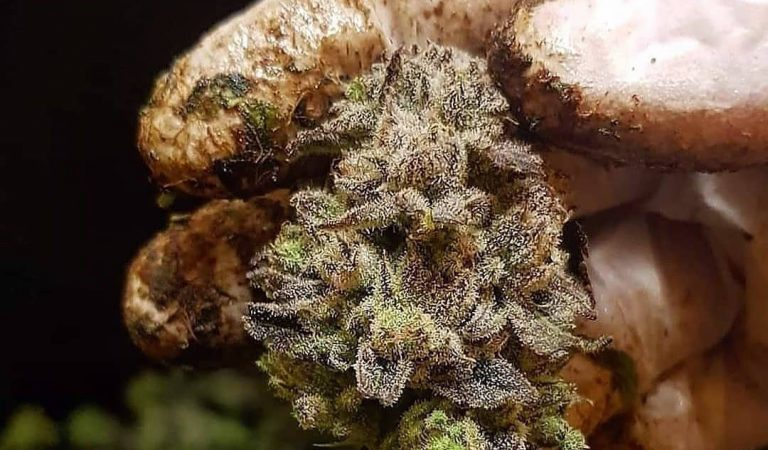 Good morning everybody! Here is a pukka shot of some real sticky looking bud…