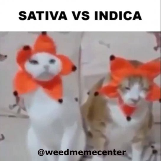 These cats are high af. Follow @weedmemecenter for daily content. Use the hashtag #weedmemecenter…